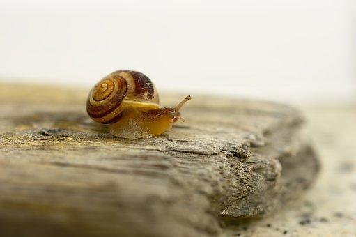 Snail, Garden Bänderschnecke, Cepaea Hortensis