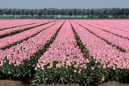 Tulips, Bulb, Rose, Holland, Flowers, Bulbs, Colorful