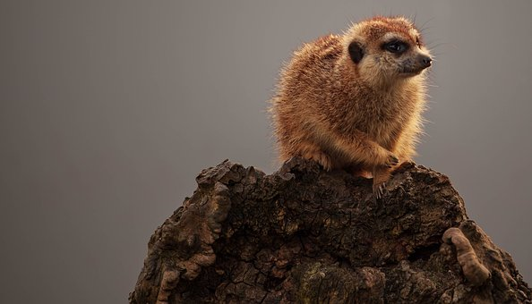 Meerkat, Baby Meerkat, Savana Dog, Cute, Baby, Nature