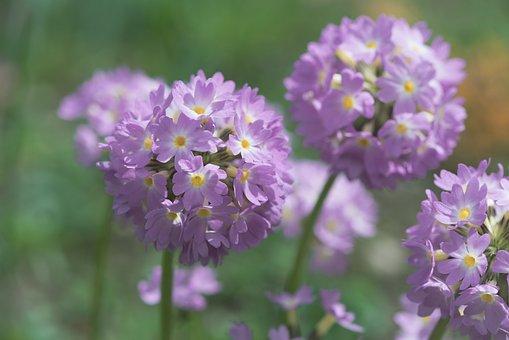 Primrose, Pink, Drumstick, Spring, Plant, Nature