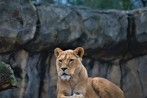 Female Lion, Lion, Focus, Wildlife, Zoo, Animel