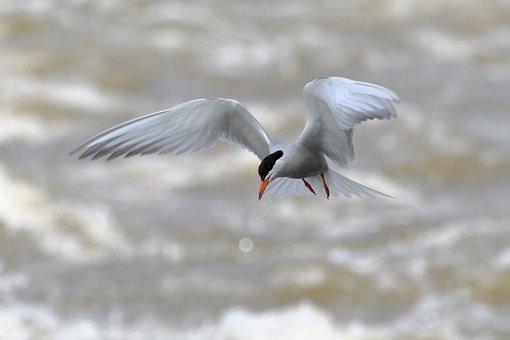 Tern, Common Tern, Birds, Nature, Flight, Fly, Wings