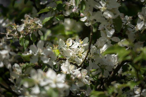 Fruit Tree Blossoming, Apple Blossom, Apple Tree
