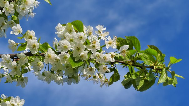 Cherry, Flowers, Spring, April, Garden, The Plot