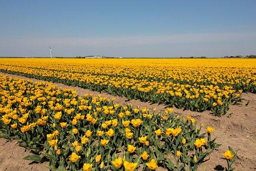 Tulip Bulbs, Bulb Fields, Yellow, Holland, Spring