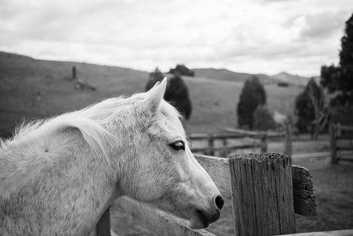 Horse, Pony, Australian Pony, Animal, Equine, Grey