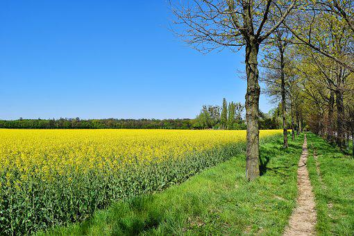 Field, Oilseed Rape, Yellow, Landscape, Spring, Nature