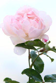 Rose, Flower, Petal, Love, Life, Floral, Macro, Pink