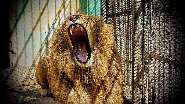 Zoo, Lion, Animal In Cage