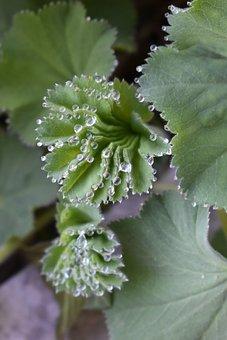 Frauenmantel, Plant, Medicinal Herb, Medicinal Plant