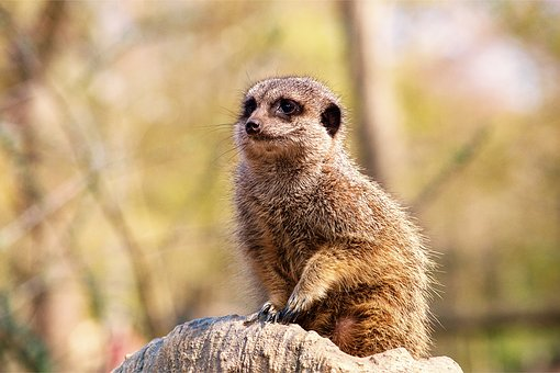 Meerkat, Zoo, Animal, Cute, Mammal, Animal World