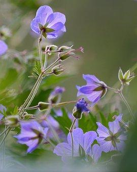 Cranesbill, Flowers, Shrub, Mountain Garden, Altitude