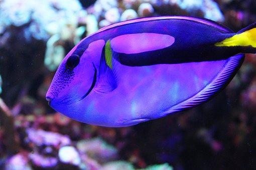 Fish, Dori, Aquarium, Blue, Underwater, Mutely, Sea
