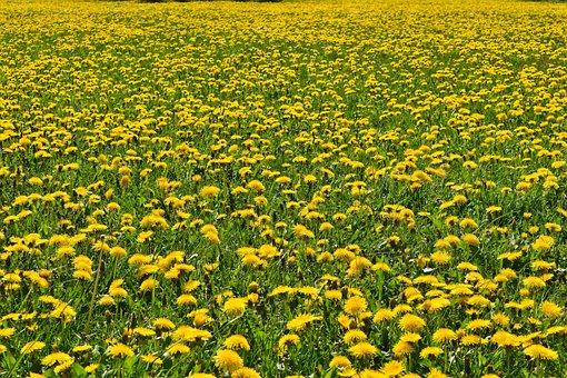 Flowers, Dandelion, Nature, Plant, Spring, Blossom