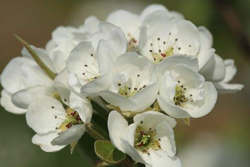 Blossom, Perenbloesem, Pear Tree, Peer, Spring, Nature