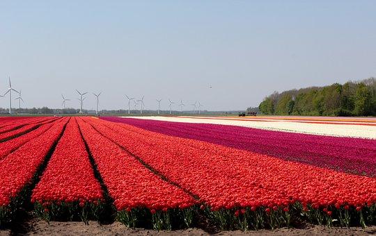 Tulip Fields, Red, Flowers, Spring, Netherlands, Bloom