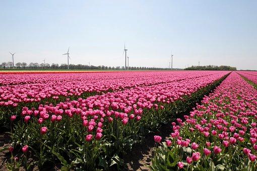 Tulip Fields, Tulip, Bloom, Rose, Netherlands, Bulb