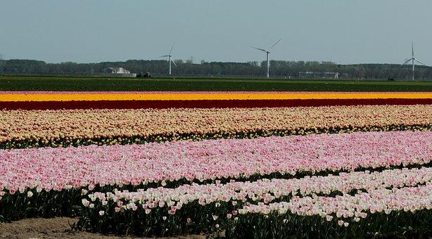 Tulip Fields, Tulip, Bulbs, Netherlands, Spring, Bloom