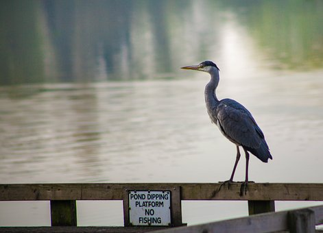 Heron, Blue Heron, No Fishing, Lake, Sunrise, Bird