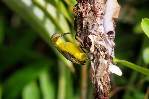 Sunbird, Wild, Bird, Olive-back, Nest, Building