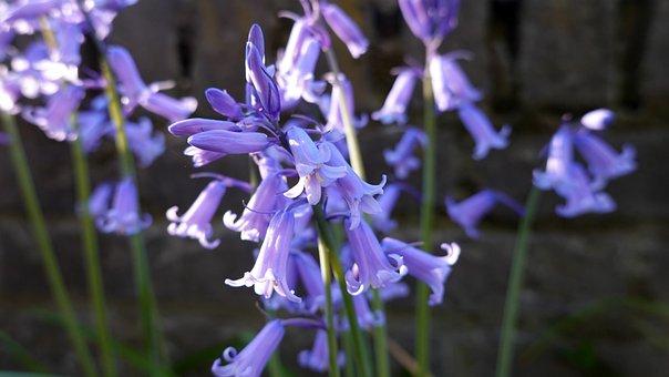 Bells Flower, Bluebells, Bloom, Blue, Plant, Bulb