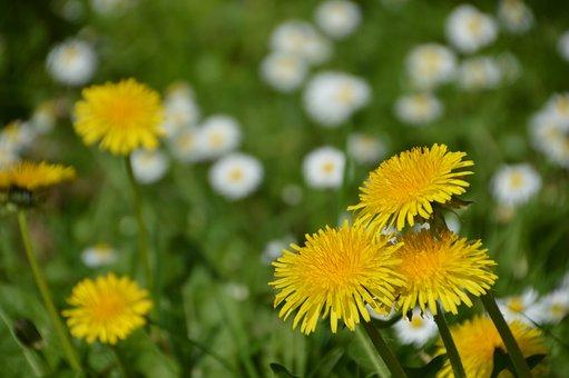Dandelion, Flower, Nature, Plants, Spring, Summer