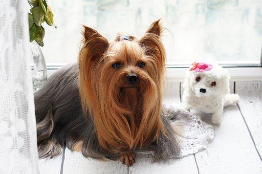 York, Dog, Yorkie, Puppy, Terrier, Portrait, Charming