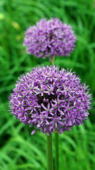 Allium, Ornamental Onion, Blossom, Bloom, Purple