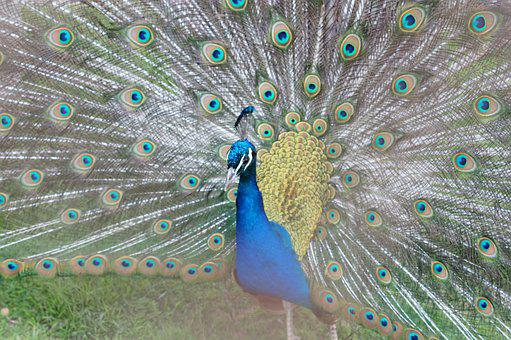 Peacock, Zoo, Bird, Blue, Color, Nature, Birds, Rainbow
