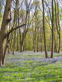 Rufford Park, Bluebells, Bluebell Woods, Flowers