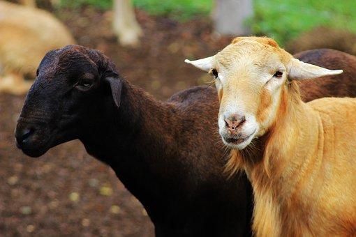 Sheep, Goat, Ruminant, Farm, Livestock, Nature, Animals