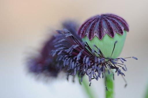Poppy, Seedpod, Flowering, Closeup
