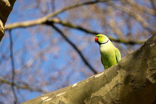 Necked Parakeet, Small Alexander Parakeet, Parrot