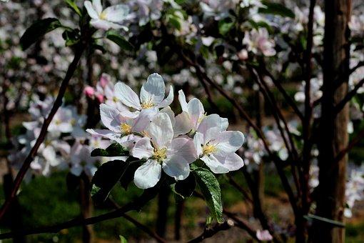 Apple Blossom, Spring, Appelbom, Leaves, Fruit Tree