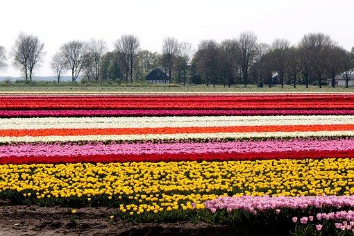 Tulip Fields, Bulbs, Tulips, Netherlands, Bulb, Spring