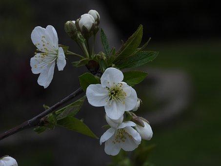 Cherry, Flowering, Spring, White Flower, Tree, Flowers