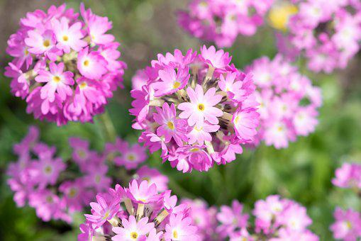 Drumstick, Pink, Primrose, Spring, Close Up, Nature
