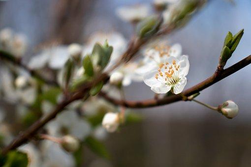 White Flower, Cherry, Spring, Flower, Nature, Bloom