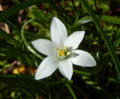 Spring Flower, Star Of Bethlehem Flower, White Flower