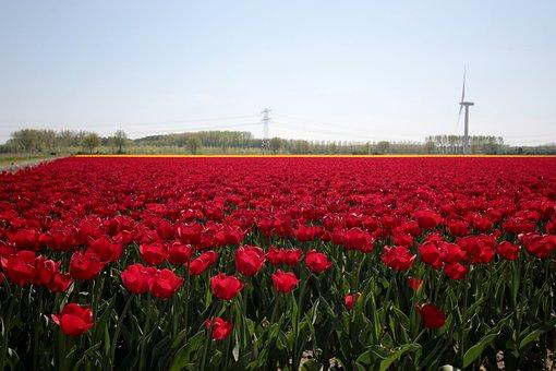 Tulip Fields, Red Tulips, Spring, Netherlands, Bloom