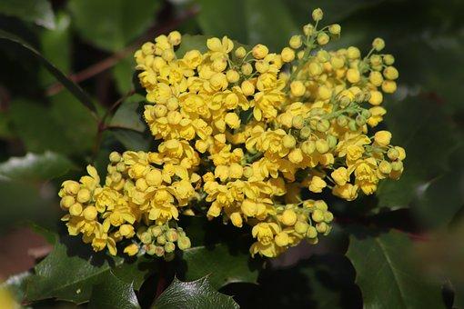 Mahogany, Stechdorn-leaved, Berberitzengewächs, Yellow