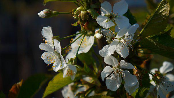 Nature, Tree, Fruit, White, Flowers, Twigs, Spring