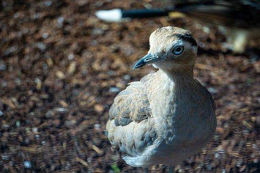 Triel, Perutriel, Bird, Stone Curlew, Animal World