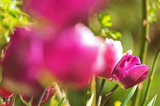Tulips, Early Bloomer, Spring, Frühlingsanfang