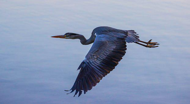 Heron In Flight, Blue Heron, Heron, Waterbird, Wader