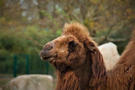 Kamel, Wildlife, Animel, Zoo, Focus, Face, Details, Eye