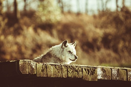 Canadian Timber Wolf, Wolf, Resting, Predator