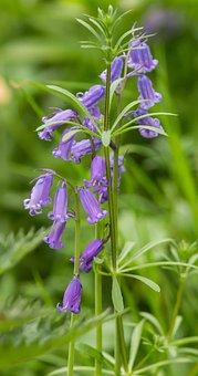 Bluebell Flower, Bluebell, Woods, Spring, Bloom, Plant