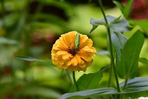 Zinnia Flower, Yellow Petals, Grasshopper, Green Insect
