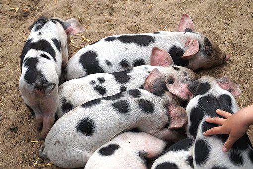 Piglet, Pigs, Animal Children, Cute, Agriculture, Hand